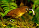 Yellow-breasted Antpitta - © The Photographer and Exotic Birding LLC