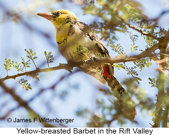 Yellow-breasted Barbet - © The Photographer and Exotic Birding LLC