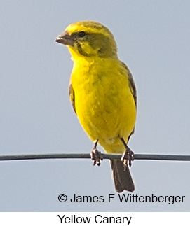 Yellow Canary - © James F Wittenberger and Exotic Birding LLC