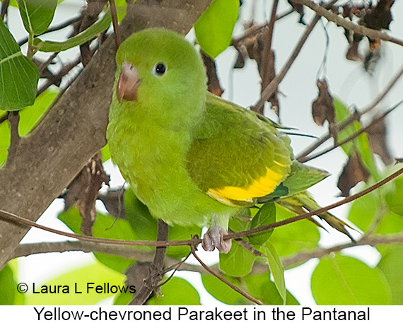 Yellow-chevroned Parakeet - © Laura L Fellows and Exotic Birding LLC