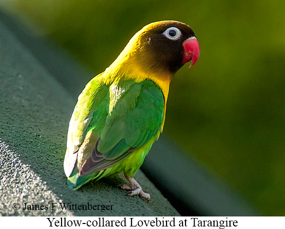 Yellow-collared Lovebird - © James F Wittenberger and Exotic Birding LLC