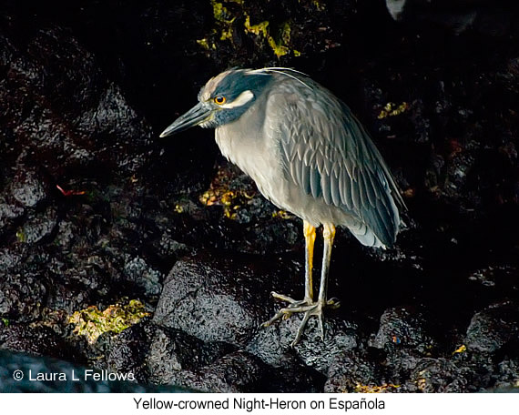 Yellow-crowned Night-Heron - © The Photographer and Exotic Birding LLC