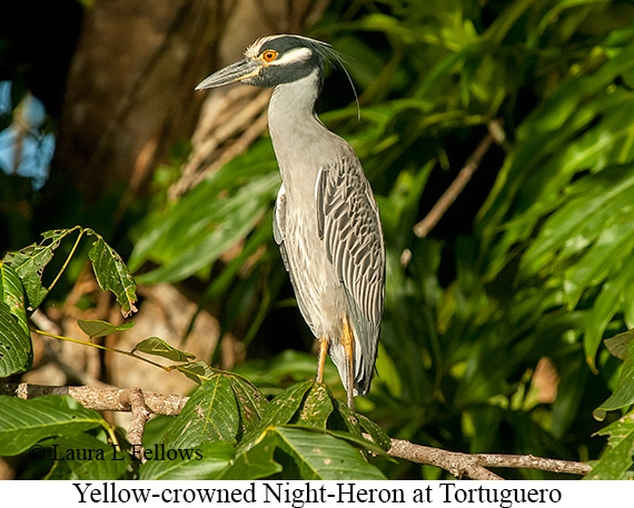 Yellow-crowned Night-Heron - © Laura L Fellows and Exotic Birding LLC
