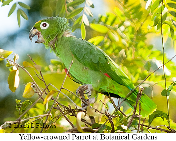 Yellow-crowned Parrot - © Laura L Fellows and Exotic Birding LLC