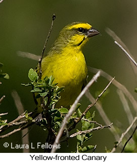 Yellow-fronted Canary - © Laura L Fellows and Exotic Birding LLC