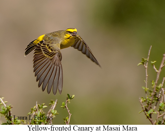 Yellow-fronted Canary - © Laura L Fellows and Exotic Birding Tours
