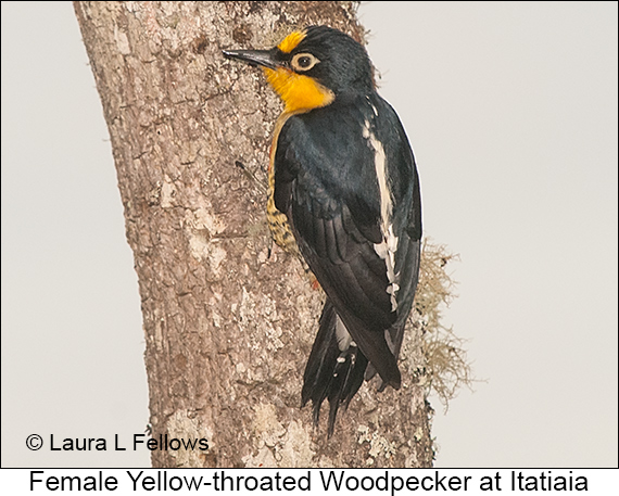 Yellow-fronted Woodpecker - © Laura L Fellows and Exotic Birding LLC