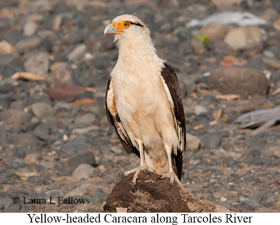Yellow-headed Caracara - © Laura L Fellows and Exotic Birding Tours