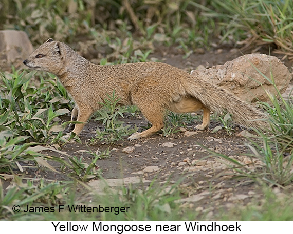 Yellow Mongoose - © The Photographer and Exotic Birding LLC