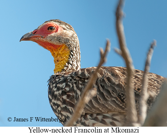 Yellow-necked Francolin - © James F Wittenberger and Exotic Birding LLC
