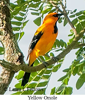 Yellow Oriole - © Laura L Fellows and Exotic Birding Tours