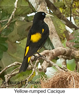 Yellow-rumped Cacique - © Laura L Fellows and Exotic Birding LLC