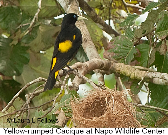 Yellow-rumped Cacique - © Laura L Fellows and Exotic Birding Tours