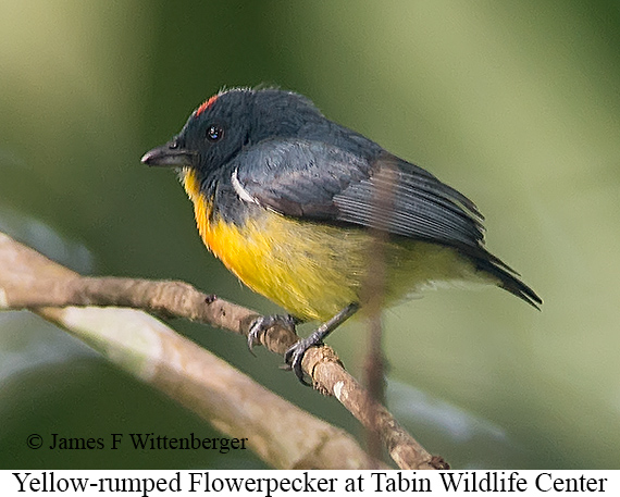 Yellow-rumped Flowerpecker - © James F Wittenberger and Exotic Birding Tours