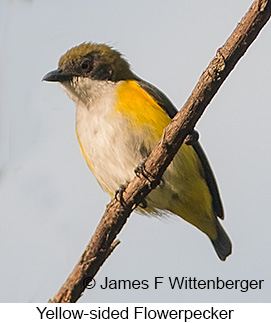 Yellow-sided Flowerpecker - © James F Wittenberger and Exotic Birding Tours
