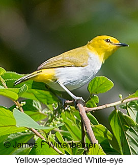 Yellow-spectacled White-eye - © James F Wittenberger and Exotic Birding Tours