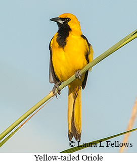 Yellow-tailed Oriole - © Laura L Fellows and Exotic Birding Tours