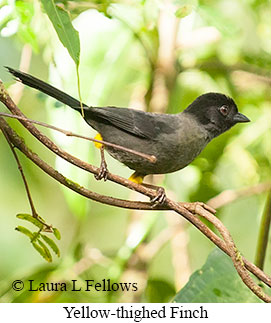 Yellow-thighed Finch - © Laura L Fellows and Exotic Birding Tours