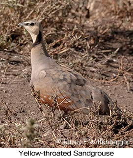 Yellow-throated Sandgrouse - © James F Wittenberger and Exotic Birding LLC