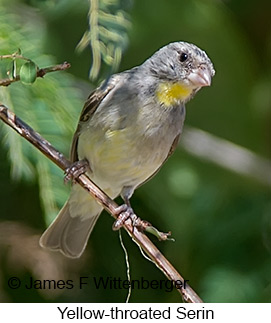 Yellow-throated Serin - © James F Wittenberger and Exotic Birding LLC