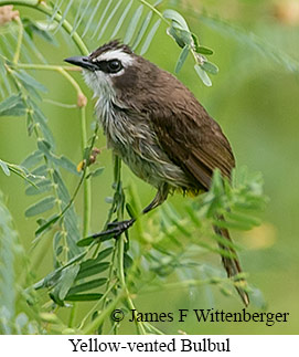 Yellow-vented Bulbul - © James F Wittenberger and Exotic Birding Tours