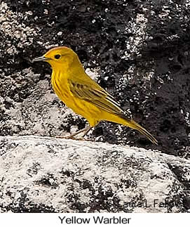 Yellow Warbler - © Laura L Fellows and Exotic Birding LLC