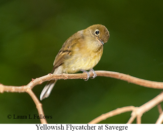 Yellowish Flycatcher - © Laura L Fellows and Exotic Birding LLC