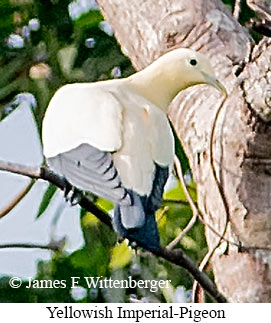 Yellowish Imperial-Pigeon - © James F Wittenberger and Exotic Birding Tours