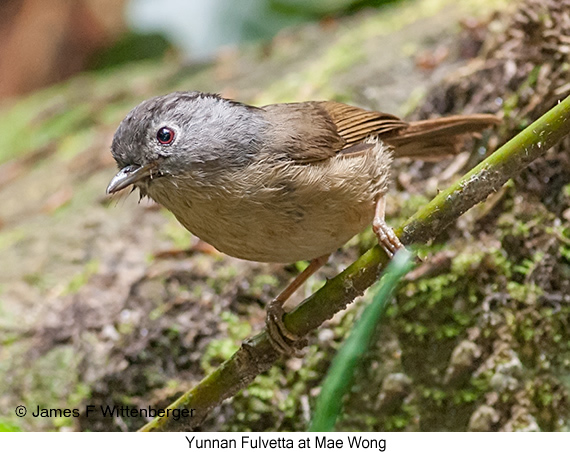 Yunnan Fulvetta - © James F Wittenberger and Exotic Birding Tours
