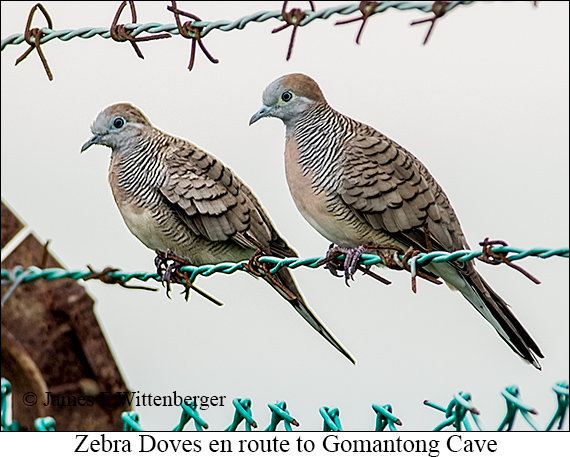 Zebra Dove - © James F Wittenberger and Exotic Birding Tours