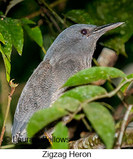 Zigzag Heron - © Laura L Fellows and Exotic Birding Tours